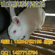 山西獭兔行情预测太原最新獭兔价格