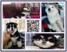 佛山南海哪里买狗健康有保障南海区哪里有卖阿拉斯加