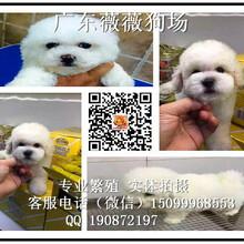 深圳哪里有卖纯种比熊狗出售疫苗做好棉花糖大