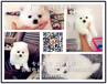 佛山禅城哪里有卖哈多利博美犬禅城祖庙纯种博美犬价格