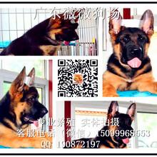 广州德国牧羊犬幼犬多窝出售健康纯种