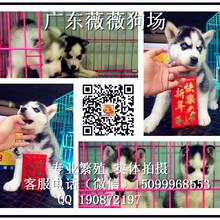 深圳哪里有卖哈士奇狗深圳哪里买狗