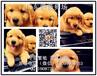 纯种健康枫叶系金毛终身售后签协议可看狗父母