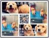 大骨架金毛出售狗场直销纯种包健康