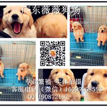 广州金毛犬舍哪里出售金毛幼犬