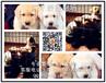 拉布拉多幼犬可上门挑选大骨量头版实物拍摄
