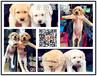 佛山哪里有卖拉布拉多犬佛山拉布拉多犬