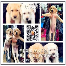 广州哪里有正规狗场广州哪里有卖拉布拉多犬
