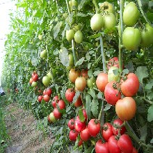 新上市中农五号-大粉果番茄种子图片