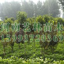 大叶女贞价格_河南6-12公分大叶女贞种植基地