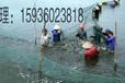 洛阳特种鱼苗泥鳅苗出售厂家直销鱼苗价格优惠