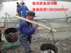 洛阳特种鱼苗鲶鱼苗出售性价比最高,哪里有卖鲶鱼苗,鲶鱼苗出售,鲶鱼苗批发?