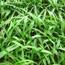 四川紫花三叉巨茎白芨苗
