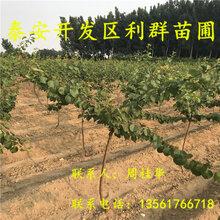 3公分杏树苗3公分杏树苗多少钱一棵3公分杏树苗价格图片