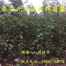 金太阳杏树苗、山东金太阳杏树苗、金太阳杏树苗价格是多少图片