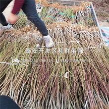 中华紫血桃苗、中华紫血桃苗价钱图片