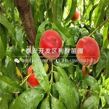 瑞蟠19号桃树苗、瑞蟠19号桃树苗新品种图片