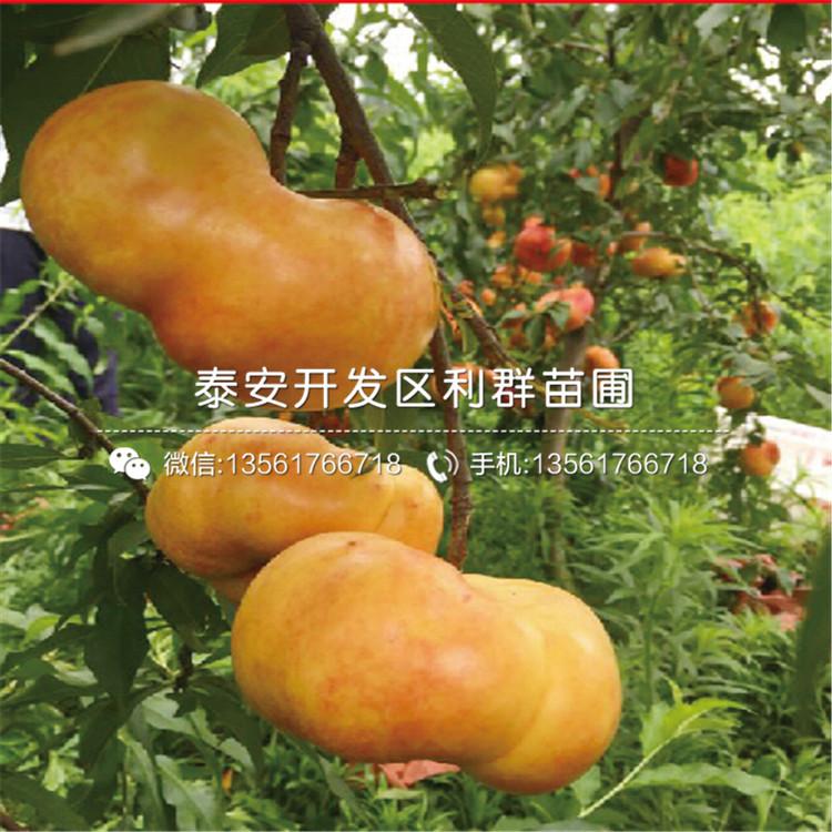 早熟黄桃苗出售