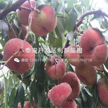 冬丰冬桃树苗价位图片