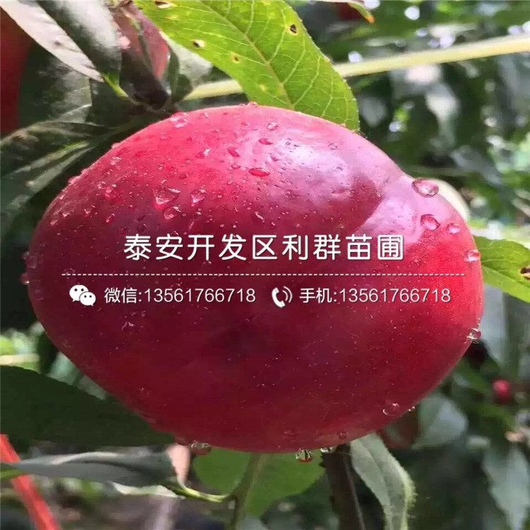 春艷桃苗價錢