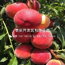 脆红桃树苗报价图片