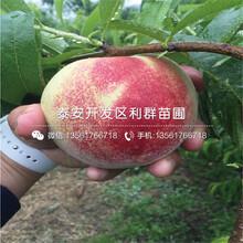 中華黑桃王桃樹苗、中華黑桃王桃樹苗批發(fa)基地圖(tu)片