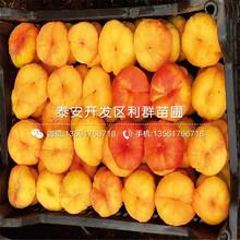 黃金蜜三號桃樹苗品種圖片