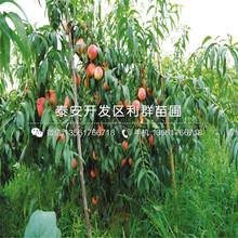 新品种桃树苗、新品种桃树苗价格图片