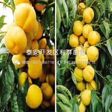 錦春黃桃苗報價及價格圖片