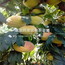 中華壽桃桃樹苗報價、2020年中華壽桃桃樹苗價格圖片