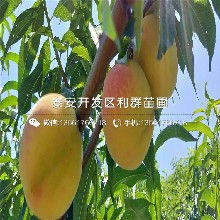 1公分桃树苗新品种、1公分桃树苗价格及报价图片