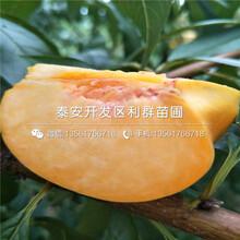 批发超早红蜜桃树苗、批发超早红蜜桃树苗价格及报价图片