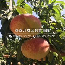 早凤王桃树苗价钱图片