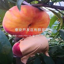 早熟油桃树苗报价、早熟油桃树苗价格图片