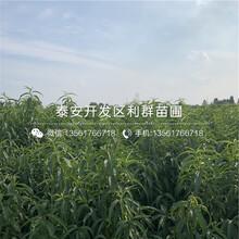 国庆脆红桃苗价格、国庆脆红桃苗价格及报价图片