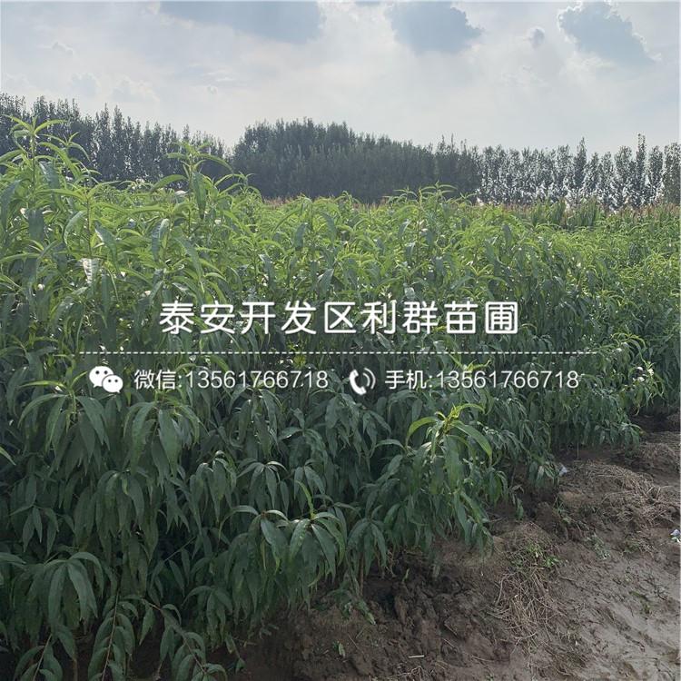 沂蒙霜红桃苗、沂蒙霜红桃苗品种