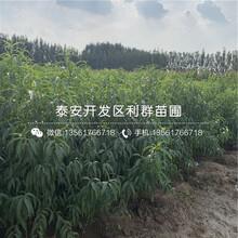 新世纪2号黄桃树苗价格及报价图片