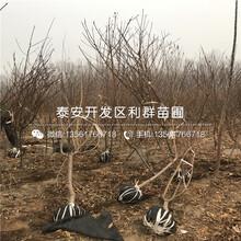 黄冠桃树苗品种介绍、黄冠桃树苗价格及报价图片