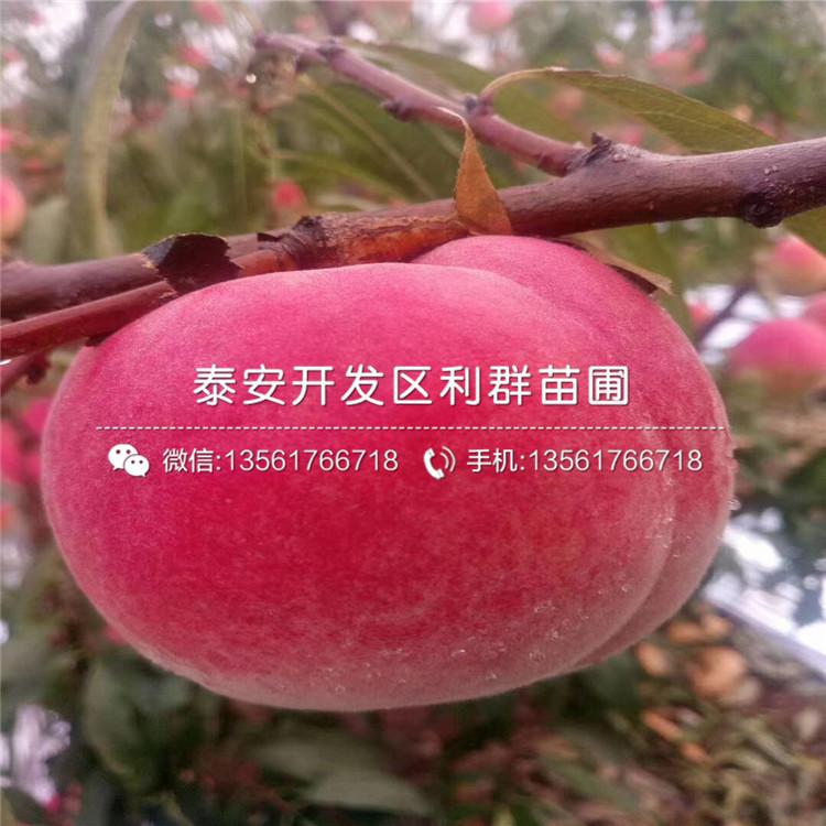 中熟黃桃樹苗批發