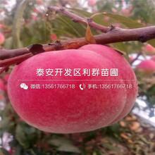 锦园桃树苗、锦园桃树苗报价及价格图片
