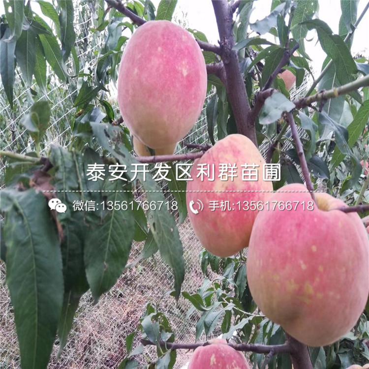 中油6号桃树苗价格及基地