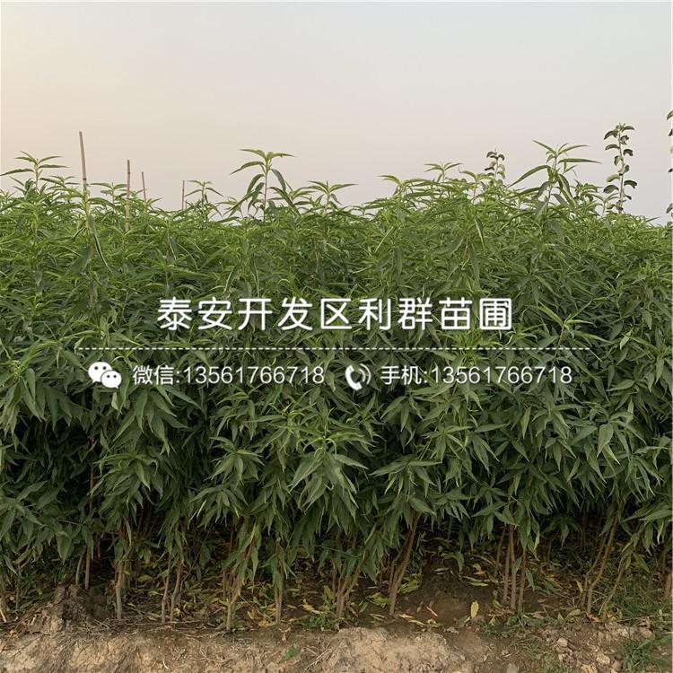 黄金蜜2号桃树苗出售基地、黄金蜜2号桃树苗价格及报价