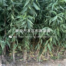 早熟水蜜桃苗新品种、早熟水蜜桃苗价格及报价图片