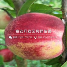 泰安桃树苗出售、泰安桃树苗价格及基地图片