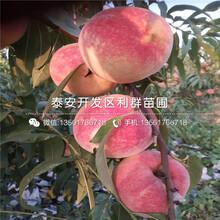 中华巨蟠桃树苗报价图片