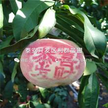 映霜红桃苗新品种、映霜红桃苗价格及基地图片