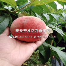 春艷桃苗價錢圖片