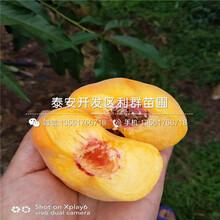 中熟水蜜桃树苗出售、中熟水蜜桃树苗基地图片