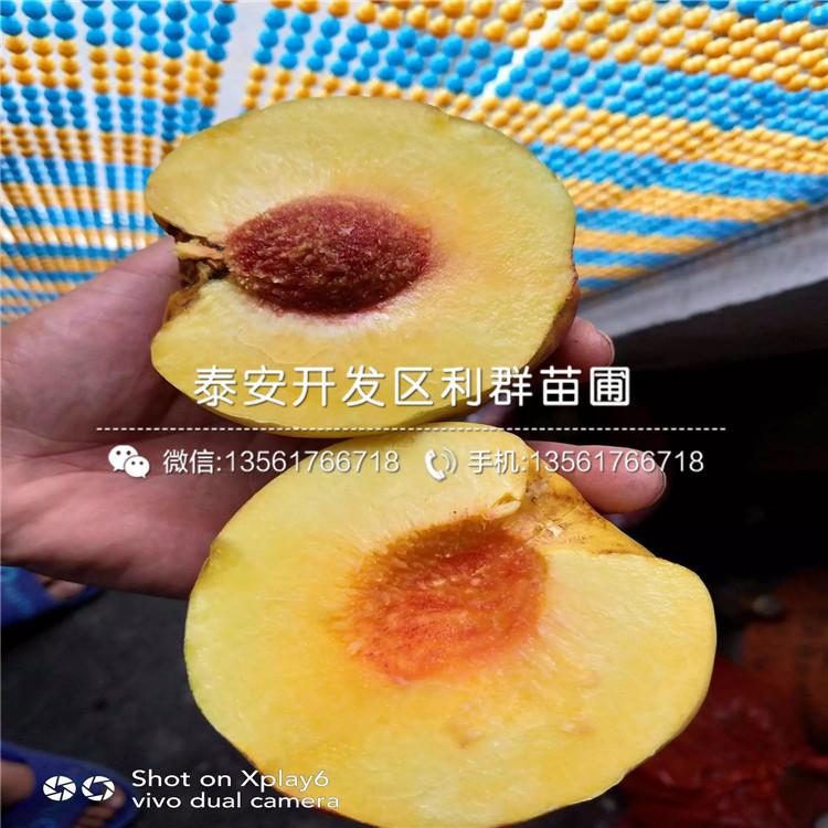 風味太后桃樹苗、風味太后桃樹苗價格及報價