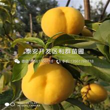 中熟蟠桃树苗报价及基地图片